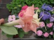 Datura Dalens Pink Amour 2