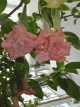 Datura Pink Perfection 11