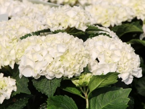 Hortensja White Wonder everbloom
