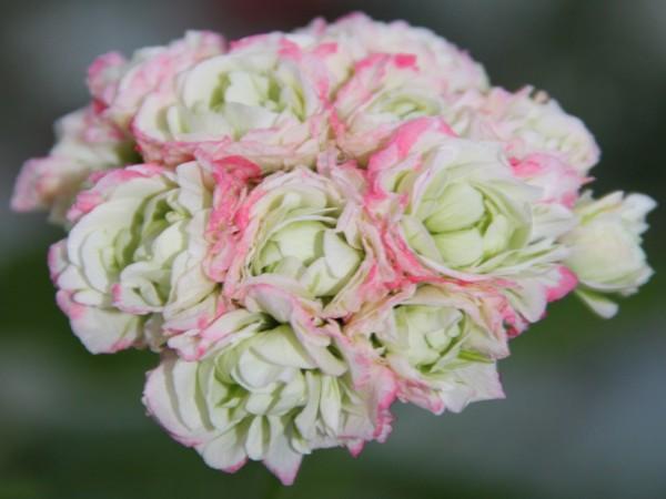 Pelargonia appleblossom rosebud